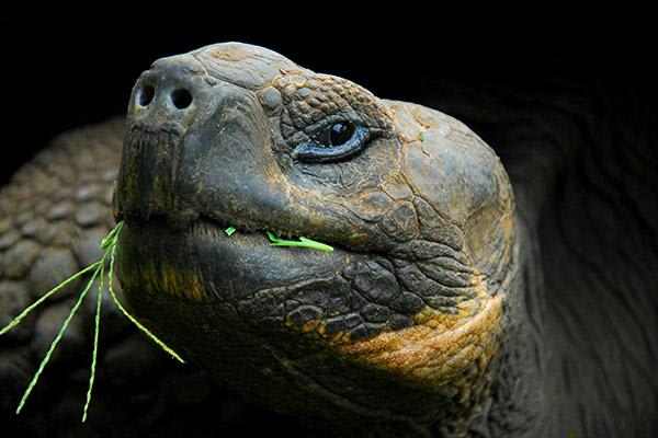 Integrity's 8-Day Western Islands Itinerary Day One - Galapagos Giant Tortoise.