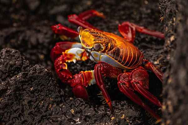 Integrity's 8-Day Western Islands Itinerary Day Four - Sally-Lightfoot Crab.