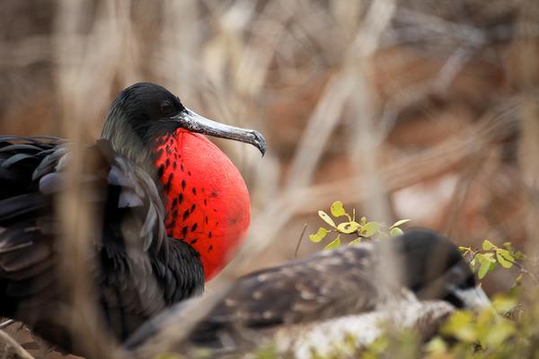 Ocean Spray's 5-Day Itinerary 'B' Day Four - Frigate Bird.