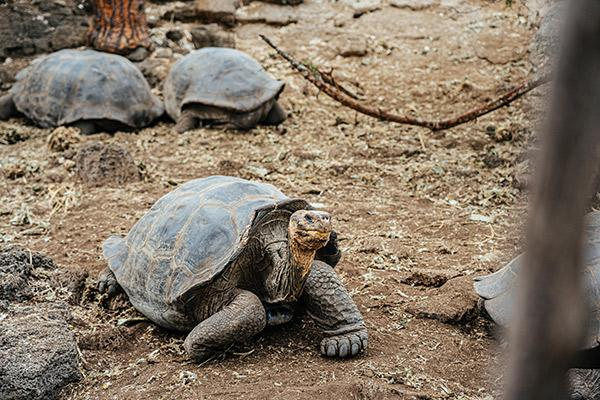Ocean Spray's 6-Day Itinerary 'A' Day Five - Charles Darwin Research Station Giant Tortoises.
