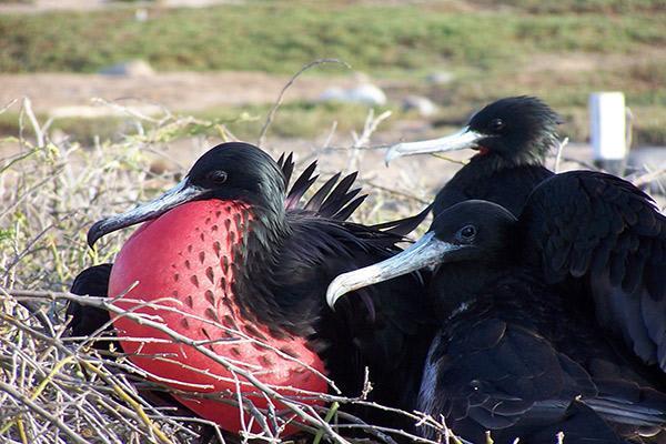 Ocean Spray's 6-Day Itinerary 'B' Day Three - Frigate Birds.