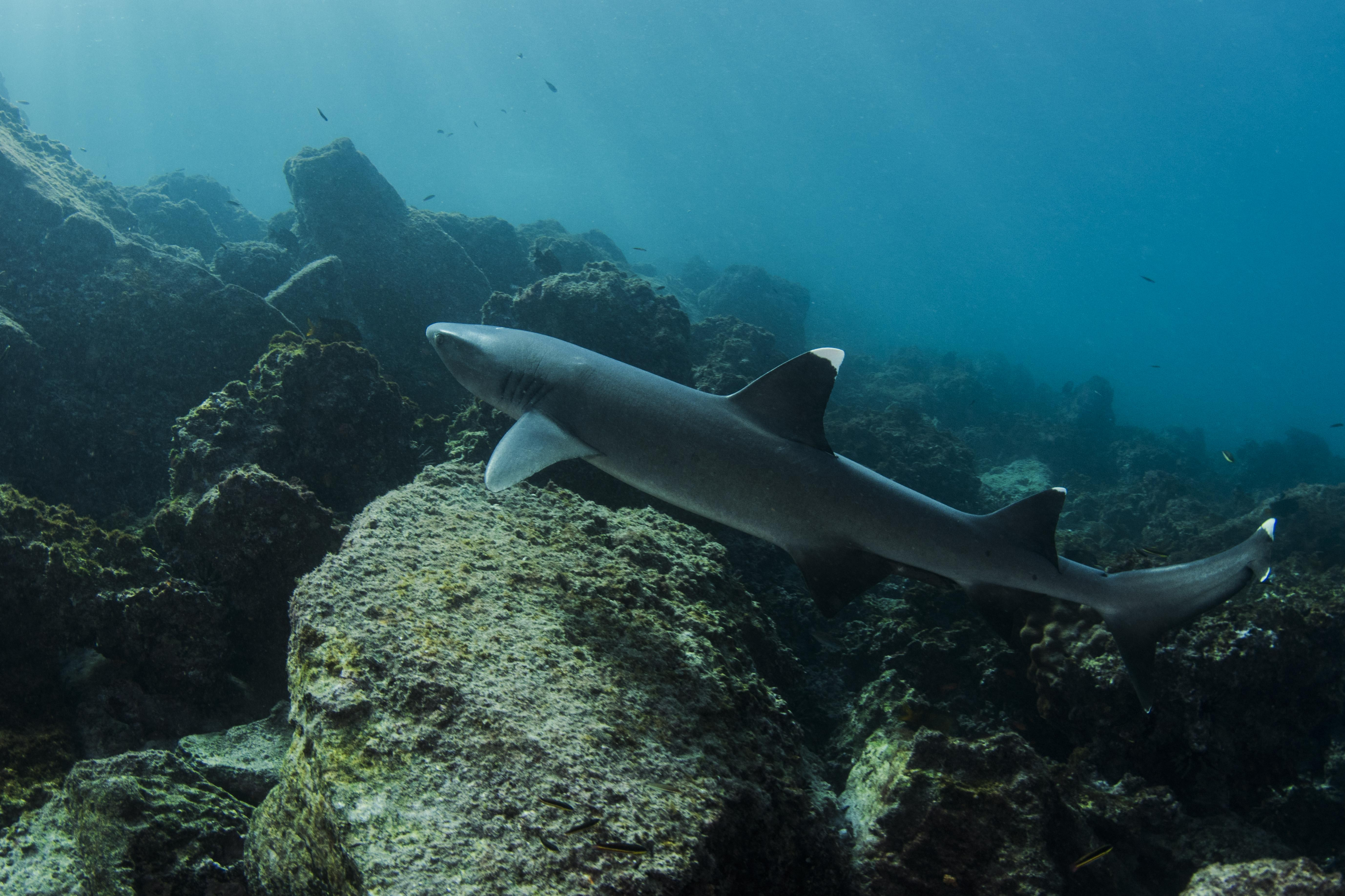 Ocean Spray's 6-Day Itinerary 'B' Day Six - White-tipped reef sharks.