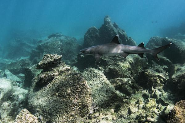 Ocean Spray's 8-Day Itinerary 'A' Day Four - White-tipped Reef Sharks.