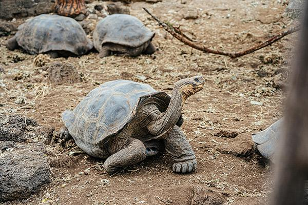 Ocean Spray's 8-Day Itinerary 'A' Day Eight - Charles Darwin Research Station Giant Tortoises.