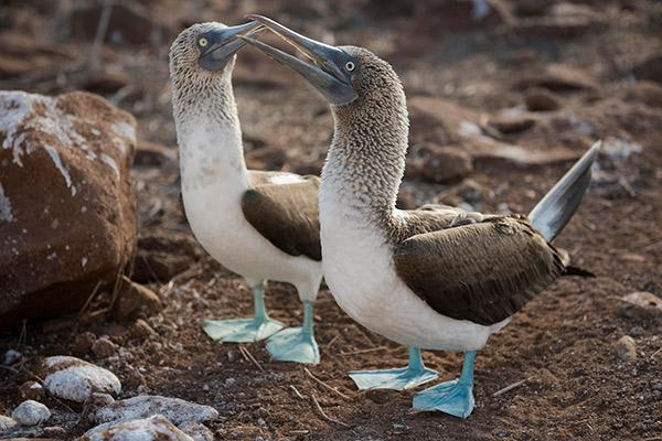 Ocean Spray's 8-Day Itinerary 'B' Day Two - Blue-Footed Boobies.