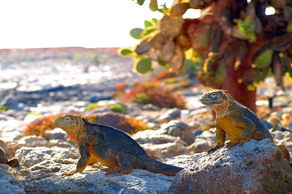 Nemo III's 4-Day Southern Islands Itinerary Day Two - Land Iguanas at South Plaza.