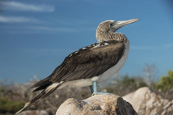 Nemo III's 8-Day Southern Islands Itinerary Day One - Blue-Footed Booby.