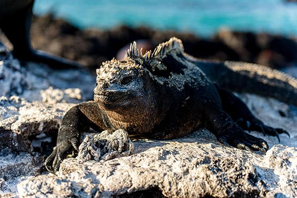 Nemo III's 8-Day Southern Islands Itinerary Day Three - Marine Iguana Sighting.