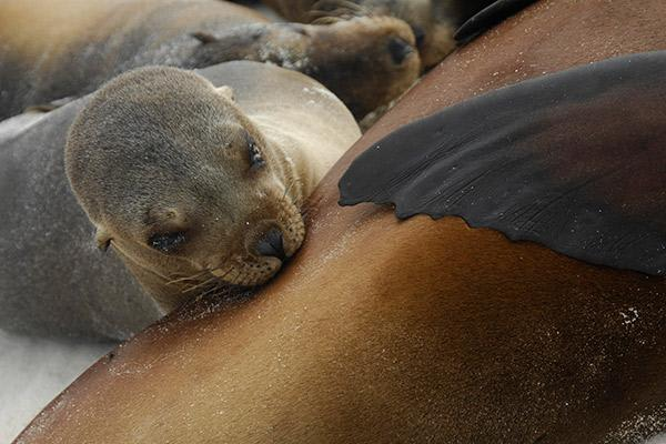 Nemo III's 8-Day Southern Islands Itinerary Day Eight - Sea Lion Pup.