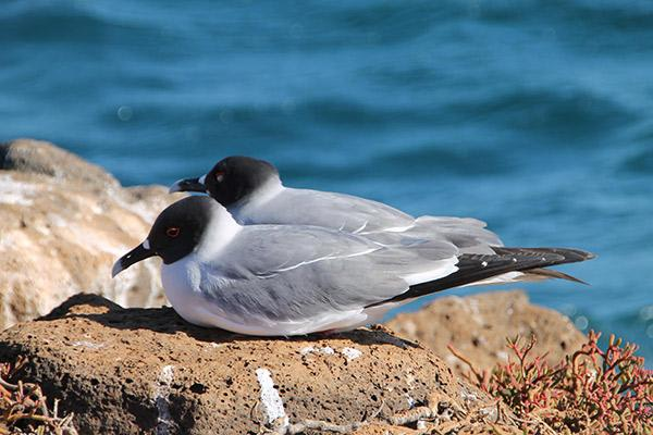 Seaman Journey's 4-Day Itinerary Day One - Swallow-Tailed Gull Sighting.