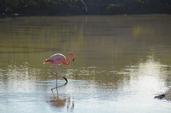 Seaman Journey's 5-Day Itinerary Day Four - Galapagos Flamingo Sighting.