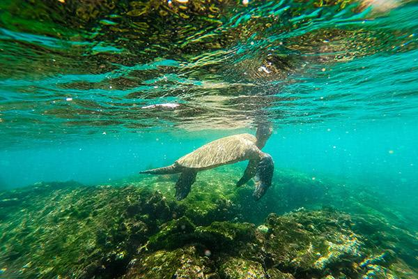 Seaman Journey's 8-Day C Itinerary Day Seven - Galapagos Sea Turtle.
