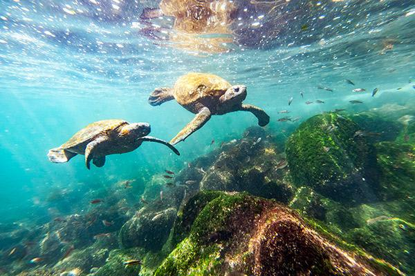 Seaman Journey's 12-Day Itinerary Day Eleven - Pair of Galapagos Sea Turtles Swimming.