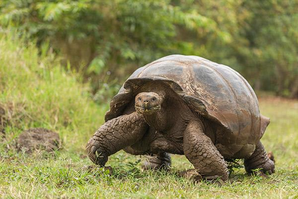 Seaman Journey's 15-Day F Itinerary Day Eleven - Galapagos Tortoise Walking.