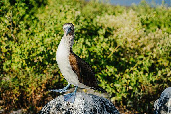 Seaman Journey's 15-Day F1 Itinerary Day One - Blue-Footed Booby.