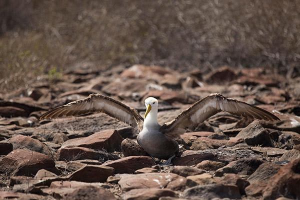 Seaman Journey's 15-Day F1 Itinerary Day Seven - Galapagos Albatross.