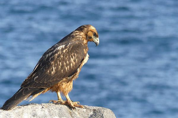 Seaman Journey's 15-Day F1 Itinerary Day Eleven - Galapagos Hawk.