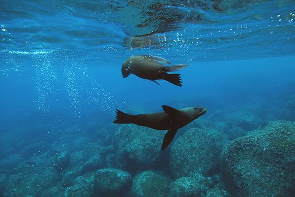 Seaman Journey's 15-Day F2 Itinerary Day Three - Sea Lions Swimming.