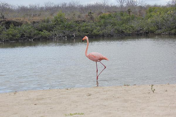 Seaman Journey's 15-Day F2 Itinerary Day Four - Galapagos Flamingo on the Beach.
