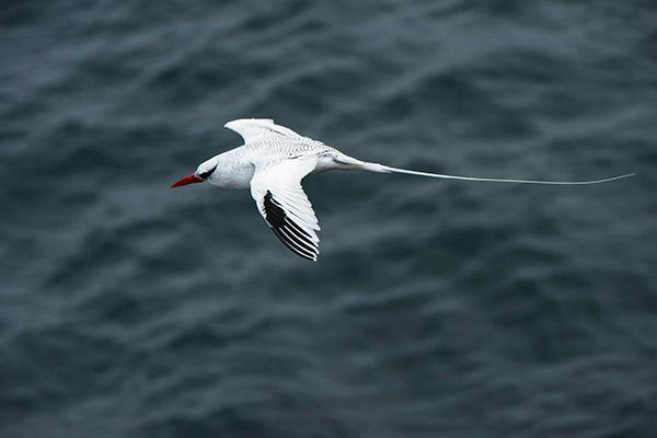 Seaman Journey's 15-Day F2 Itinerary Day Fourteen - Red-Billed Tropicbird.