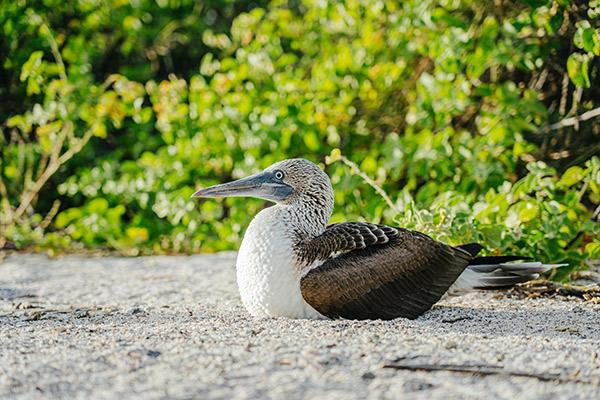 Solaris' 4-Day Itinerary Day Four - Blue-Footed Booby.
