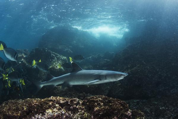 Solaris' 5-Day Itinerary Day Two - Galapagos Reef Sharks.