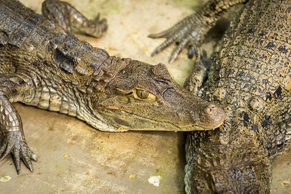 Perla's 4-Day Marañon Itinerary Day Four - Caimans.