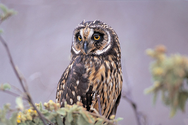 La Pinta's 5-Day Northern & Central Itinerary Day Four - Galapagos Short-Eared Owl Sighting.