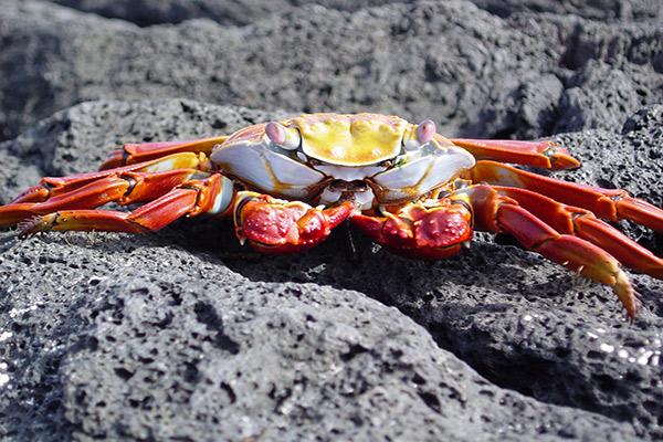 La Pinta's 7-Day Itinerary Day One - Sally Lightfoot Crab Sighting.