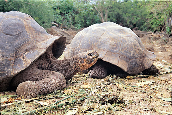 Isabela II's 5-Day Western Itinerary Day One - Giant Galapagos Tortoise.