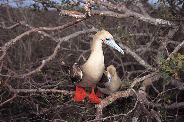 Isabela II's 5-Day Northern Itinerary Day Three - Red-Footed Booby Sighting.