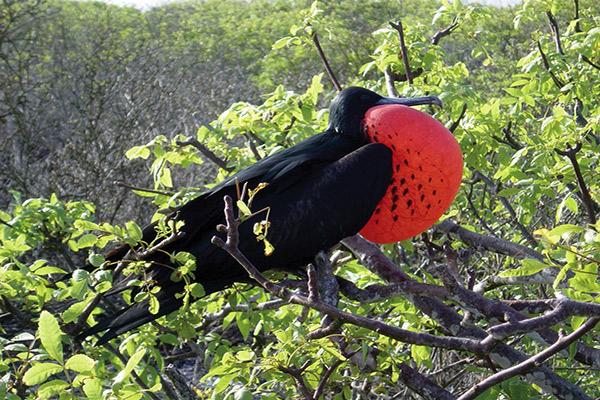 Isabela II's 7-Day Itinerary Day Two - Frigatebird Sighting.