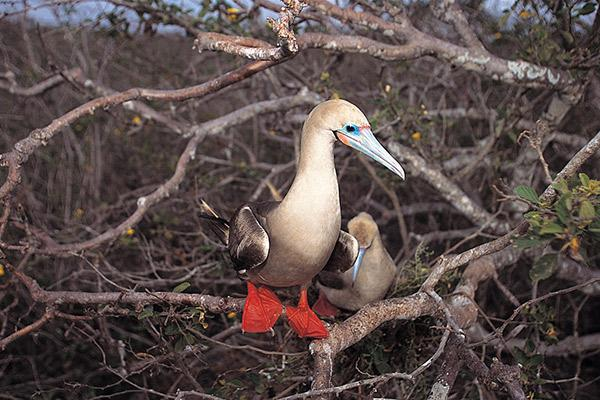 Alya's 6-Day Itinerary A Day Four - Red-Footed Booby.