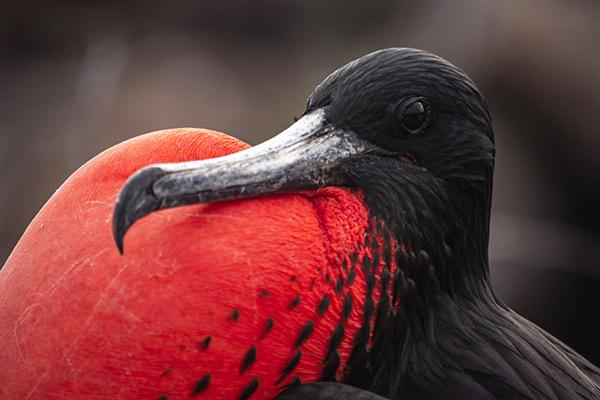 Grand Majestic's 4-Day Itinerary Day One - Frigate Bird Close Up.