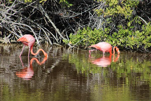 Grand Majestic's 8-Day Itinerary A Day Two - Galapagos Flamingos in a Lagoon.