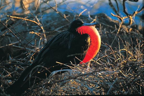 Grand Majestic's 8-Day Itinerary A Day Five - Endemic Frigate Birds.