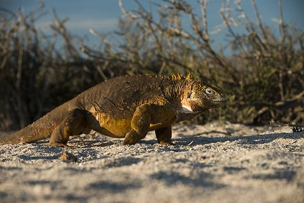Galapagos Legend's 4-Day 'A' Itinerary Day Three - Land Iguana in the Sun.