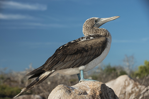 Galapagos Legend's 4-Day 'C' Itinerary Day Two - Blue-Footed Booby.