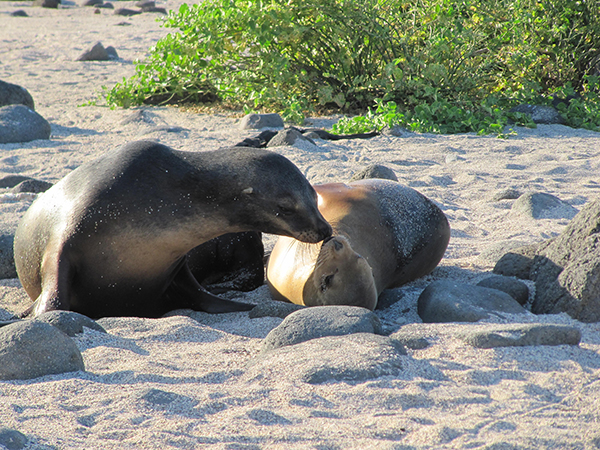 Galapagos Legend's 5-Day 'B' Itinerary Day One - Sea Lions on the Beach.