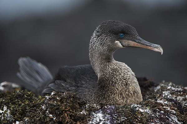 Galapagos Legend's 5-Day 'B' Itinerary Day Four - Flightless Cormorant.