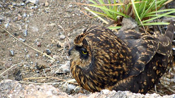 Galapagos Legend's 5-Day 'D' Itinerary Day Four - Short-Eared Owl.