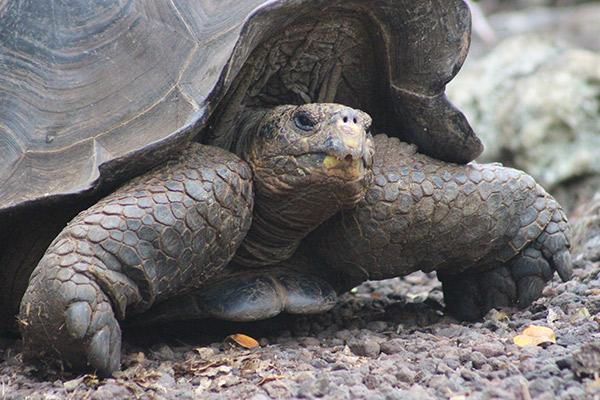 Galapagos Legend's 8-Day 'A+B' Itinerary Day One - Galapagos Giant Tortoise.