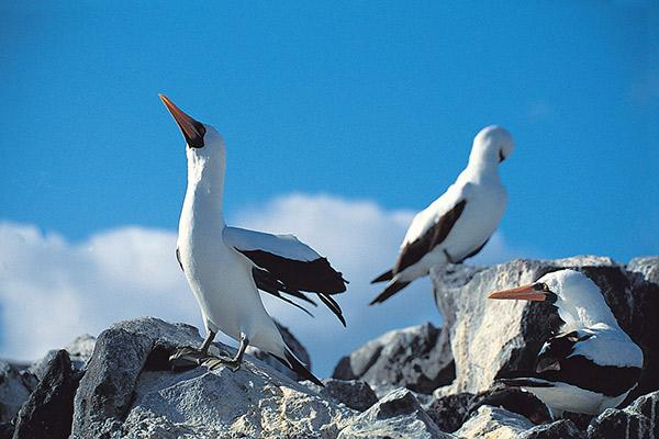 Galapagos Legend's 8-Day 'A+B' Itinerary Day Two - Nazca Boobies.