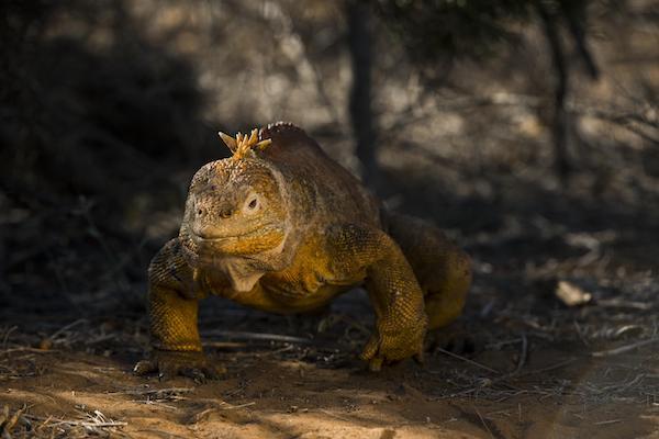 Galapagos Legend's 8-Day 'A+B' Itinerary Day Three - Land Iguana.