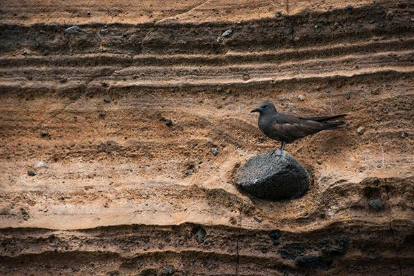 Galapagos Legend's 8-Day 'A+B' Itinerary Day Six - Brown Noddy.