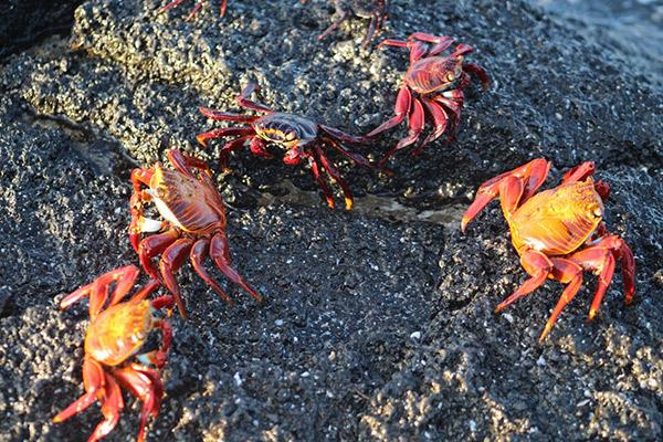 Galapagos Legend's 8-Day 'A+B' Itinerary Day Seven - Sally-Lightfoot Crabs.