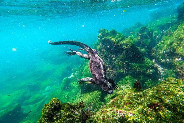 Galapagos Legend's 8-Day 'C+D' Itinerary Day Five - Marine Iguanas.