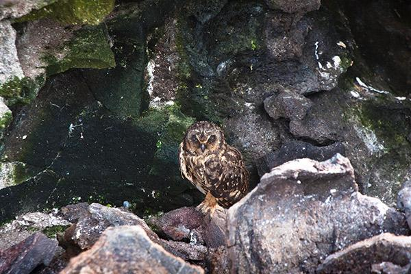 Galapagos Legend's 8-Day 'C+D' Itinerary Day Seven - Short-Eared Owl.