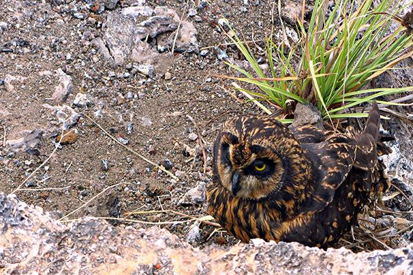 Galapagos Legend's 8-Day 'D+A' Itinerary Day Four - Short-Eared Owl.