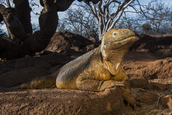 Galapagos Legend's 8-Day 'D+A' Itinerary Day Seven - Land Iguana in the Sun.